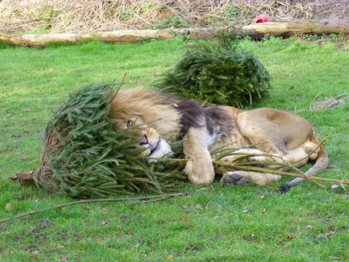 Λιοντάρια που… ανακυκλώνουν χριστουγεννιάτικα δέντρα