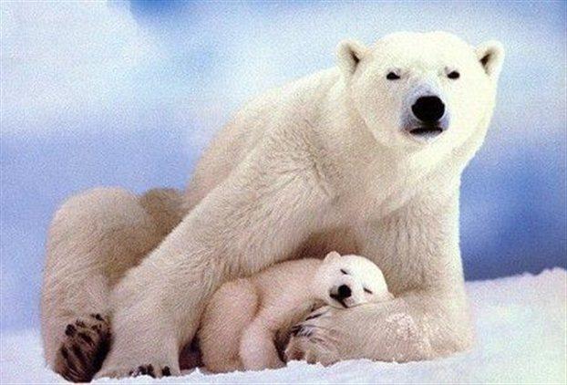 Η Google σου δείχνει τις πολικές αρκούδες στον Αρκτικό Κύκλο