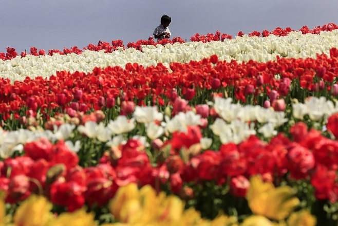 epaselect epa07094628 A visitor walks through the tulip fields at Table Cape Tulip Farm, near Wynyard, in north-west Tasmania, 15 October 2018. The spring open days showcase three hectares of tulips grown in the soils of the extinct volcano vent of the Table Cape. They are an annual tourist attraction for a month in the colorful blooming spring period each year.  EPA/BARBARA WALTON