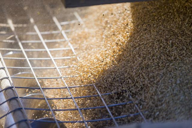Close up of grain, Howlong, Albury, New South Wales, Australia