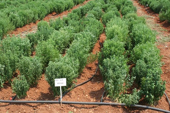 Ειδικό θέμα: Καλλιέργεια στέβιας. Η Stevia rebaudiana Bertoni είναι ένα πολυετές, πολύκλαδο  και ποώδες φυτό, που ζει  ή καλλιεργείται αλλού ως ετήσιο και αλλού για 3-7 χρόνια, όπως και στην Ελλάδα. Αισιόδοξα είναι τα αποτελέσματα των πειραματικών καλλιεργειών στέβιας σε ολόκληρη την Ελλάδα, από το πανεπιστήμιο Θεσσαλίας, Τετάρτη 20 Ιανουαρίου 2010.