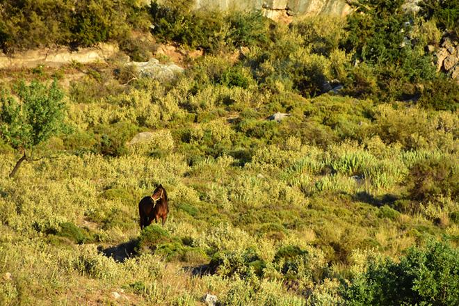 Ένα άλογο βόσκει σε χωράφι,  Ναύπλιο, Παρασκευή 12 Μαΐου 2017.  ΑΠΕ-ΜΠΕ /ΑΠΕ-ΜΠΕ/ΜΠΟΥΓΙΩΤΗΣ ΕΥΑΓΓΕΛΟΣ