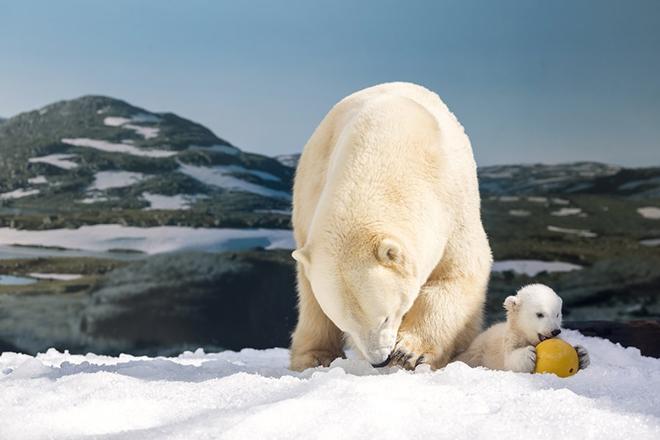 Πρόστιμο σε όποιον… τρομάζει τις πολικές αρκούδες