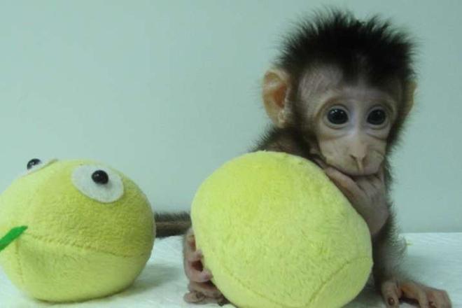 Κινέζοι κλωνοποίησαν τις πρώτες μαϊμούδες στον κόσμο