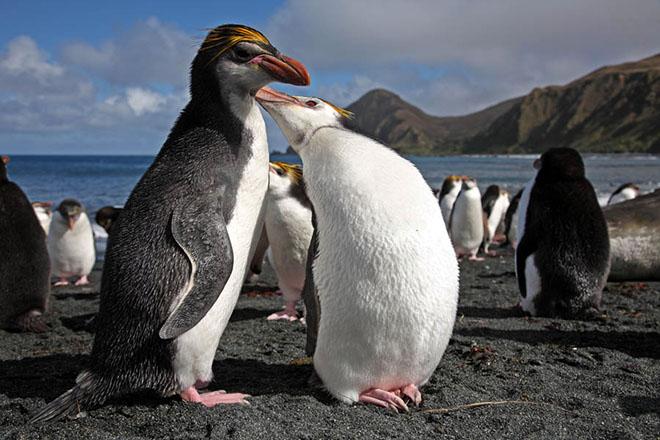 Πλησιάζει το τέλος των βασιλικών πιγκουίνων;