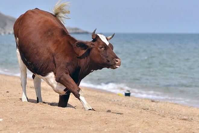 Αγελάδες σε παραλίες γυμνιστών της Σουηδίας τις ημέρες του καύσωνα