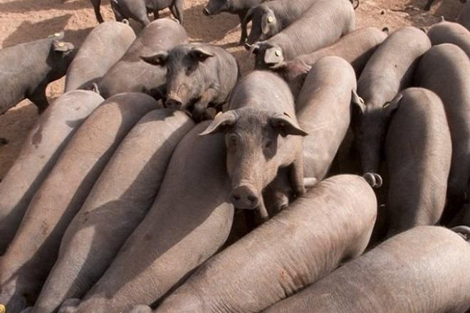 Φόβοι για το περιβάλλον στην Ισπανία: Οι χοίροι ξεπερνούν τον αριθμό των κατοίκων