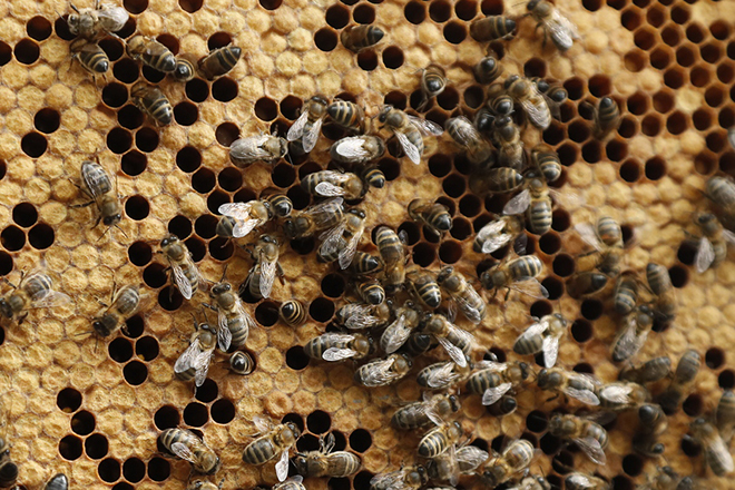 epa07030565 A view of Black Bees during an inspection of an apiary, near Pont de Montvert, southern France, 18 September 2018. Producing high quality honey, black bees are present in western Europe since 20,000 years. Now a victim of massive importation of other bees and resulting hybridization, they are threatened with extinction. People in the Black Bee valley of the Cevennes National Park try to build again a favorable landscape to pollinators.  EPA/GUILLAUME HORCAJUELO