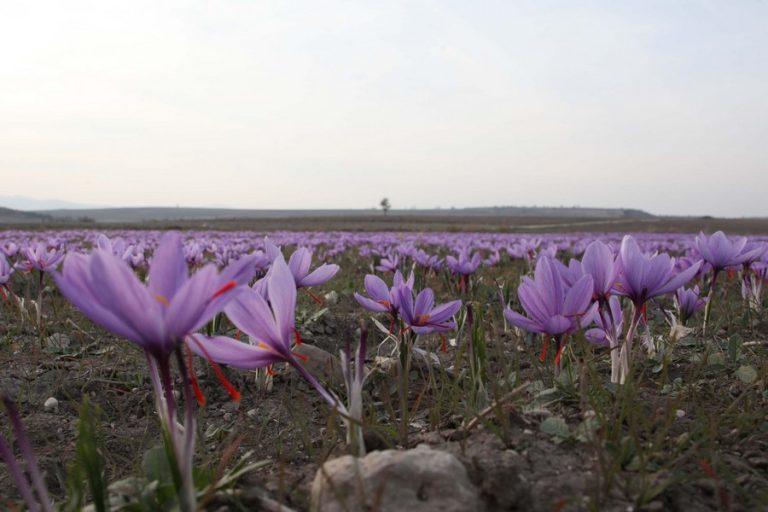 Φτάνει για πρώτη φορά και στην κινεζική αγορά ο κρόκος Κοζάνης